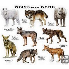 Wolves of the world . One thing, though. Ethiopian wolves are canids, but not actual members of the wolf species. All true wolves (including domestic dogs) are listed under CANIS LUPUS, while the Ethiopian wolf is listed under CANIS SIMENSIS. Wolf Love, Beautiful Creatures, Animals Beautiful, Types Of Wolves, Tier Wolf, Ethiopian Wolf, Animals And Pets, Cute Animals, Wild Animals