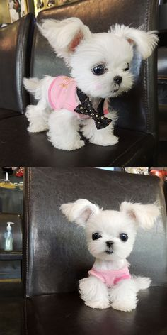 That has to be the cutest lil puppy ever!!! Soo adorable!! This can't be a real dog! Lol