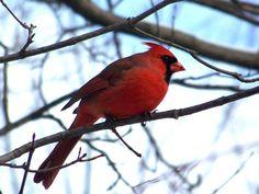 Cardinal at Tinker Nature Park in Henrietta