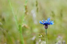 clavel   Flickr: Intercambio de fotos