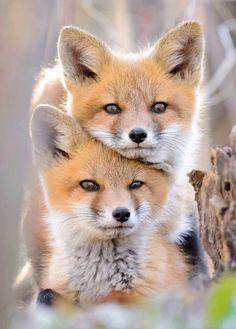 Beautiful ❤ fox kits animal kingdom, dogs and puppies, foxes, cute animals Nature Animals, Animals And Pets, Funny Animals, Wild Animals, Funny Dogs, Cute Fox, Tier Fotos, Cute Little Animals, Adorable Animals
