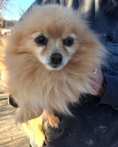 Meet Trudy, an adoptable Pomeranian looking for a forever home. If you're looking for a new pet to adopt or want information on how to get involved with adoptable pets, Petfinder.com is a great resource.