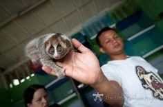 When cute turns deadly – the story of a wildlife biologist who was bit by a venomous slow loris. Slow Loris are not suitable as pets they belong in their natural habitat