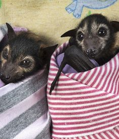 The Tolga Bat Hospital in Atherton, Queensland, Australia, takes in abandoned baby bats!!1