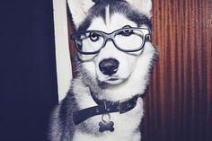 Hipster Husky ♥