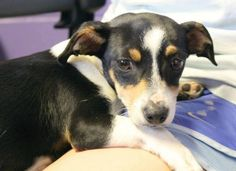 Meet Boo, a Petfinder adoptable Rat Terrier Dog | Enterprise, AL | Boo is a 4 month old Rat Terrier mix. He is a little wary at first, but very friendly once he...