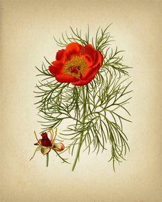 Narrow Leaved Peony Botanical Illustration - 8x10 - Fine art print of a vintage natural history antique botanical illustration.
