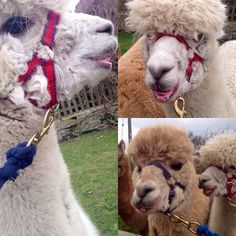 Alpacas need vitamin paste every few months needless to say they don't like it!  #alpacawalks #glamping #northumberland