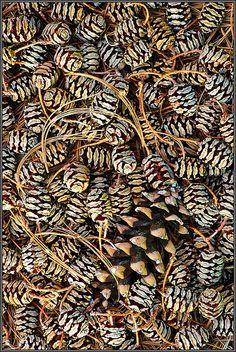 Dawn Redwood cones and white pine cone