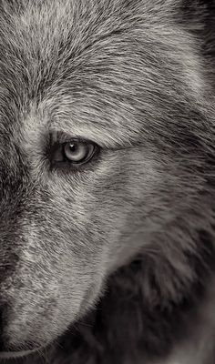 Beautiful Wolf - amazing eyes.  So much like my Shasta but a lot like my GSD Otto as well.
