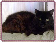 ANETA - URGENT - Cobb County Animal Shelter in Marietta, GA - ADOPT OR FOSTER - 6 year old Female Domestic Longhair - at the shelter since July 1, 2017 - Aneta is a sweet fluffy girl. Her ID# is 597591 and she is in Cage 685. Her cage number could change, so please make a note of her ID# and ask for assistance if you don't find her.