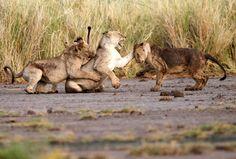 Löwen beim Spiel: Der Park ist von Kenias Hauptstadt Nairobi rund 240...