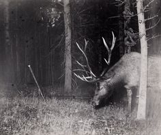 1479515_10152209877500337_1053289331_n.jpg 900×752 pixels  A bull elk catches a camera string in his antlers, triggering a flash. Yellowstone National Park, Wyoming, July 1913. Photograph by George Shira, National Geographic Society