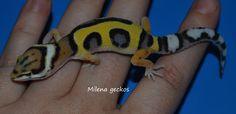 leopard gecko