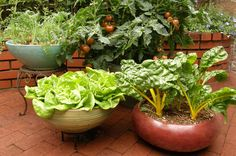 EZ to Grow Container Kitchen Garden Collection:br Super Bush Tomatoes, Romeo Round Carrots, Garden Babies Lettuce, Pot of Gold Chard, Cameo Basil