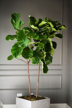 Obsessed with the Fiddle Leaf Fig! -Top 5 Indoor Plants and How to Care for Them Fiddle Leaf Fig-Ficus Lyrata Best Indoor Trees, Tall Indoor Plants, Indoor Plants Low Light, Outdoor Plants, Large Plants, Planet Decor, Ficus Lyrata, Fiddle Leaf Fig Tree, Fiddle Fig