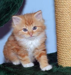 Meet Garfield, an adoptable Domestic Long Hair looking for a forever home. If you're looking for a new pet to adopt or want information on how to get involved with adoptable pets, Petfinder.com is a great resource.