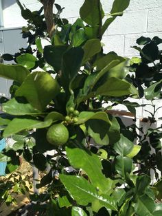 Kaffir Lime Tree The Leaves Are Essence Of Many Thai Dishes Tropica Mango Rare And Exotic Tropical Fruit Nursery