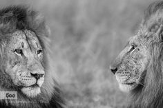 World lion day by JacoMarx. Please Like http://fb.me/go4photos and Follow @go4fotos Thank You. :-)