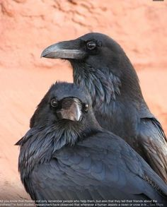 Ravens- Thought and Memory...<3