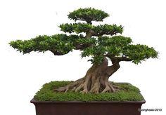 Boxwood Bonsai, Exposed Root style (Neagari).