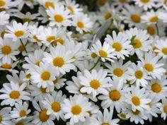 My favorite - white daiseys