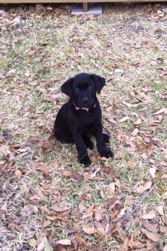 Whoever said you can't buy happiness never bought a black lab puppy!!! :) #Labrador #puppy