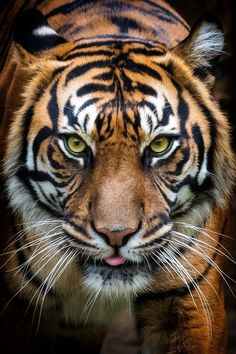 "llbwwb: ""(via / Tiger, Prague ZOO by Pavel Gröschl) "" Pet Tiger, Tiger Face, Bengal Tiger, Beautiful Cats, Animals Beautiful, Prague Zoo, Animals And Pets, Cute Animals, Wild Animals"