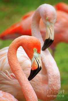 Two Flamingoes Photograph by Carlos Caetano - Two Flamingoes Fine Art Prints and Posters for Sale