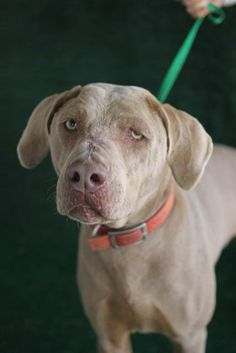 Meet Henry-614d a Petfinder adoptable Weimaraner Dog | Wolfe City, TX | ~~~~~~~~~~~~~~~~~~~~~~~~~~~~~~~~~~~~~~~~~~~~~~~~~~~~~~~The Frank Barchard Memorial Animal Shelter...