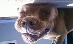 funny pitbull pics | Lana The Pit bull - Funny Pictures of Puppy Dogs Upside Down