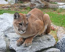 The cougar (Puma concolor), also commonly known as the mountain lion, puma, panther, or catamount, is a large felid of the subfamily Felinae native to the Americas. Its range, from the Canadian Yukon to the southern Andes of South America, is the greatest of any large wild terrestrial mammal in the Western Hemisphere.