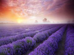 Niebla al amanecer sobre un gran campo de lavanda