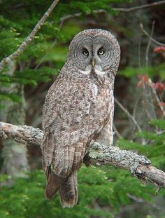 owl pictures | great-gray-owl--ryan-brady.jpg