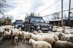 В овечьем плену)) конвой клубных LR Defender на сельской дороге по пути в Сигнахи. Экспедиция ГРУЗИЯ-2015
