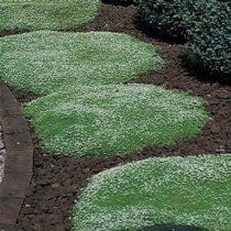Outsidepride Irish Moss - 5000 Seeds $8 You can walk on this moss like stepping stones. Cold and heat hearty, easy to grow and drought hearty.