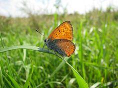Butterfly | Lycaena dispar