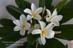 Frangipani 'Khao Bali', 'Dwarf Deciduous'; large, highly fragrant flowers appear in summer on this sought after dwarf frangipani.