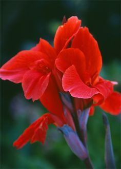 red cana lily