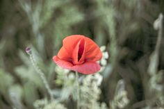 Beautiful red poppy in a green field Green Fields, Red Poppies, Poppy, Beautiful Flowers, Rose, Plants, Pink, Plant, Roses