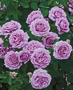 Rose 'Love Song'