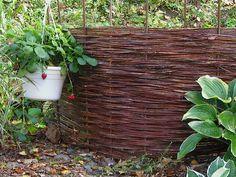 Parasta puutarhasta: Paju ja harjateräs kietoutuvat sieväksi aidaksi
