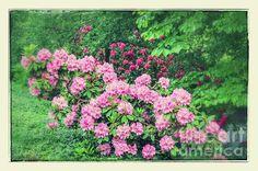 Romantic Rhododendrons - Copyright: Carol Groenen  carol-groenen.pixels.com  #rhododendronart #springart #springflowers #bedroomdecor #pinkrhododendronart #carolgroenen #pink #lovepink #pinkflowers #springpink