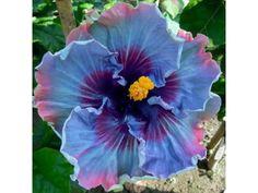 Hibiscus 'Fairy Dust'