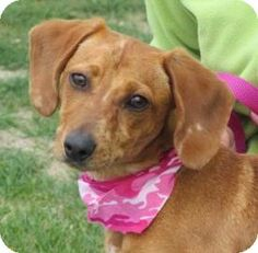 Wenatchee, WA - Dachshund Mix. Meet Ginger a Dog for Adoption.Ginger is a social little butterfly who loves to give everyone puppy kisses! Ginger is 8 months old and is very out going and sweet. She has been around children ages 6-15 years old and way friendly and playful with them but sometimes too playful for the really young kids with her energy level.