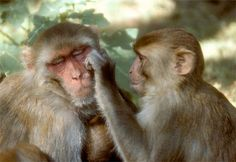 http://animals.nationalgeographic.com/staticfiles/NGS/Shared/StaticFiles/animals/images/primary/rhesus-monkeys-grooming.jpg