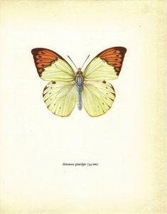 Vintage Butterfly Print, Prochazka, Art Print, Home Decor, Vintage Illustration to Frame, Book plate, Entomology, Hebomoia Glaucippe. $12.00, via Etsy.