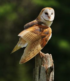 Beautiful Rich Colors on a Barn Owl by BlackArrowPhotos Tap the link for an awesome selection cat and kitten products for your feline companion! Baby Barn Owl, Baby Owls, Owl Photos, Owl Pictures, Beautiful Owl, Animals Beautiful, Image Positive, Tyto Alba, Owl Wings