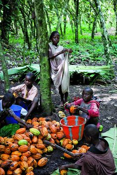 David Kpans children help him harvest cocoa pods after school. Photographer: Laura Elizabeth Pohl