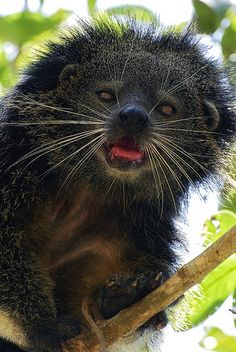 The Palawan bearcat (Arctictis binturong whitei) is endemic to the Philippine island of Palawan.  It can grow to 4.6 ft.   Generally docile but has sharp claws & teeth that can easily rip through flesh. Hangs by its strong prehensile tail. A nocturnal animal that inhabits thick vegetation in the lowland forests & camouflages itself in the forest canopy to escape predators. They eat fruits & small rodents & birds.  Considered a pest by farmers because it preys upon poultry.